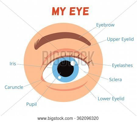 Poster For Children Learning. The Structure Of The Human Eye. Eye With The Signed Names Of Its Parts