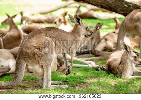 Kangaroos and wallabies at the santuary, Brisbane, Queensland, Australia