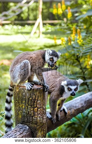 Little Funny Lemurs Play On The Branches. Small And Large Lemurs In The Green Garden.