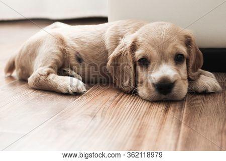 Little Cute Spaniel Puppy Lies On The Floor
