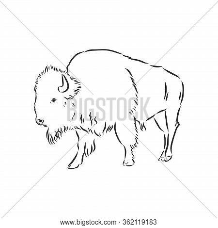Black And White Bison Vector Illustration, Bison Vector Sketch Illustration