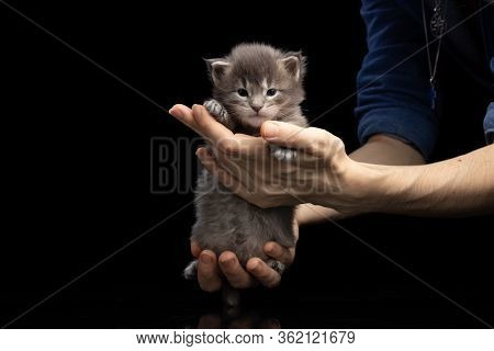 Maine Coon Kitten 2.5 Weeks. Charming Cute Beautiful Kitten In The Arms Of A Woman. The Best Of The