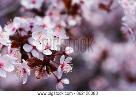 Sakura Season Or Hanami. Abstract Sakura Background. Cherry Blossom, Soft Focus, Texture, Background