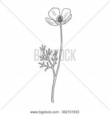 Vector Drawing Californian Poppy, Eschscholzia Californica, Hand Drawn Illustration