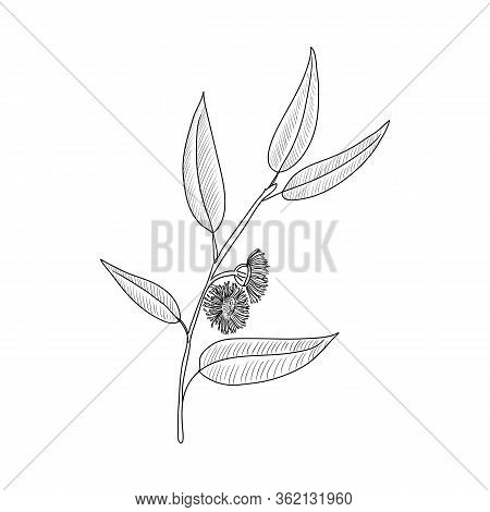 Vector Drawing Eucalyptus, Eucalyptus Globulus, Southern Blue Gum , Hand Drawn Illustration