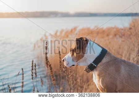 Lovely Dog By The Lake Looks At Sunset. Hiking Pets, Active Dogs: Staffordshire Terrier Mutt Sits By