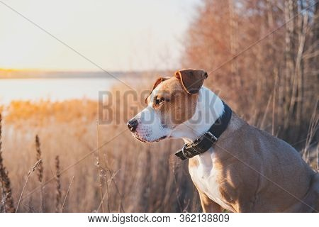 Portrait Of A Dog In The Evening Sun Outdoors. Hiking Pets, Active Dogs: Staffordshire Terrier Mutt
