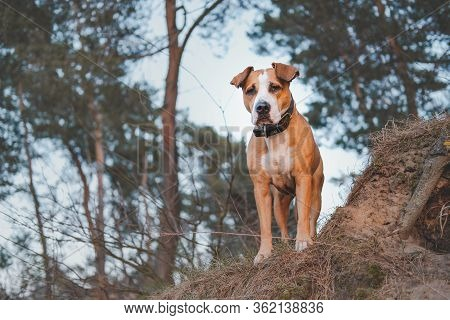 Hero Shot Of A Staffordshire Terrier Mutt In The Nature. Active Pets, Hiking With Dogs: Beautiful Gr