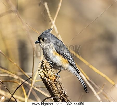 A Tufted Titmouse Perched In The Forest.