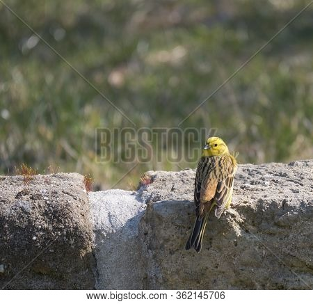 Close Up Male Yellowhammer, Emberiza Citrinella Sits On The Sandstone Wall. Yellowhammer Is Passerin