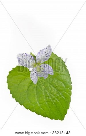 Freckled Violet (Viola sororia) flower on white background poster