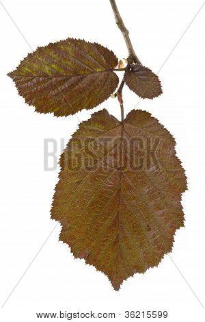 Brown hazel leaves (Corylus maxima)