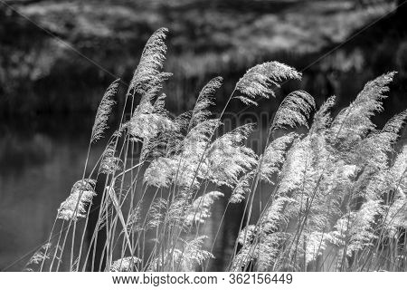 Detailed Close Up Of Feathery Blooming Grasses In The Wind