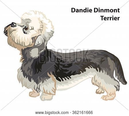 Colorful Decorative Portrait Of Standing In Profile Dandie Dinmont Terrier, Vector Isolated Illustra