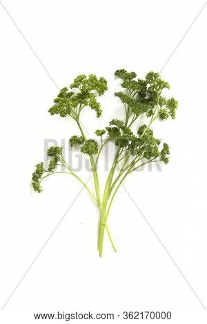 Sprig Of Parsely Isolated On A White Background With Room For Text Or Copy Space
