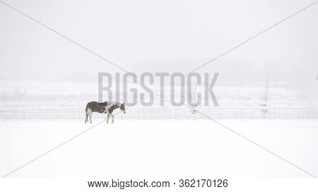A Lone Pinto Horse Walking Through A Colorado Snow Storm