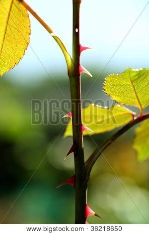 Rose Plant Thorns