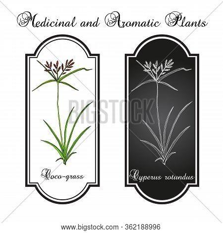 Coco-grass Cyperus Rotundus , Or Purple Nut Sedge, Medicinal Plant. Hand Drawn Botanical Vector Illu