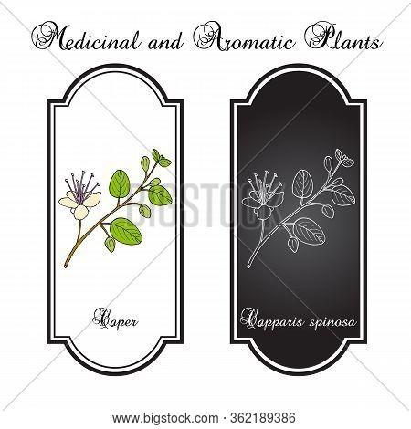 Caper Bush Capparis Spinosa , Or Flinders Rose, Eatable Plant. Hand Drawn Botanical Vector Illustrat