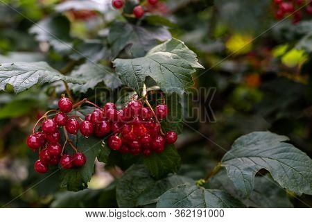 Bunch Of Red Viburnum Berries On A Branch. Macro Photo Nature Red Viburnum Berries On The Tree. Conc