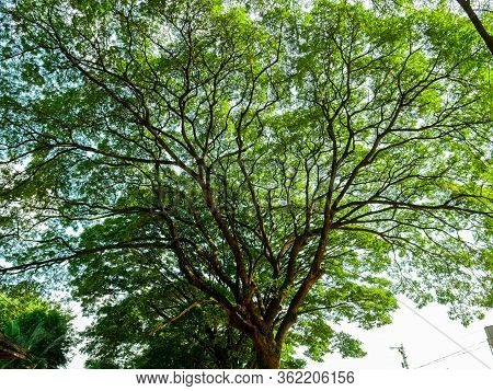 High View Scenery Of Giant Rain Tree.thai Name Chamchuri Tree Or Monkey Pod Tree With Green Leaves .