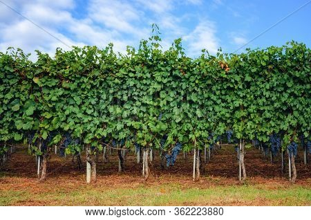 Bunches Of Nebbiolo Grape In The Vineyards Of Barolo (langhe Wine District, Italy), In September Bef