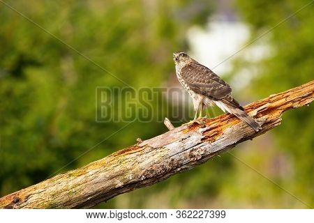 Surprised Sparrowhawk Sitting On Bough In Summer Nature With Copy Space.