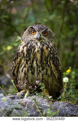 Interested Eurasian Eagle-owl Looking Into Camera From Front View