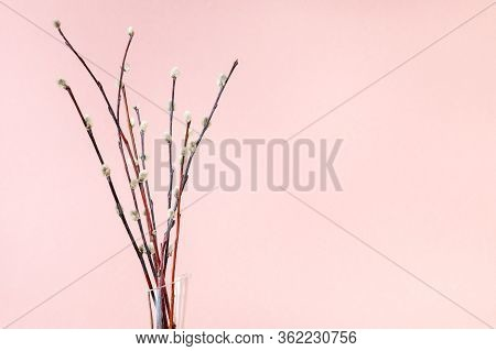Pussy Willow Sunday (palm Sunday) Feast Concept - Bunch Of Flowering Pussy-willow Twigs On Pink Past