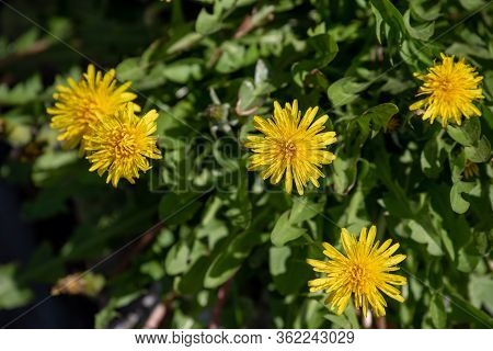 Yellow Dandelions. Bright Flowers Dandelions On Background