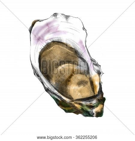 Hand Drawn Oyster Shell Isolated On White. Illustration Of Edible Mollusc. Opened Raw Shellfish. Han