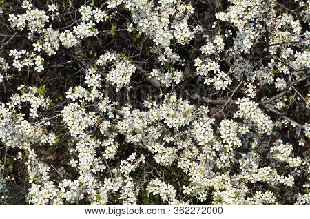 Spring Bright Natural Background Of Blooming Blackthorn.
