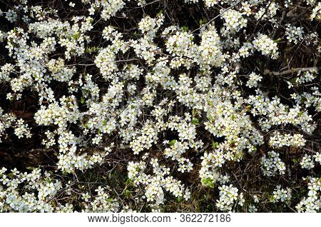 Natural Light Background Consists Of A Flowering Blackthorn Bush.