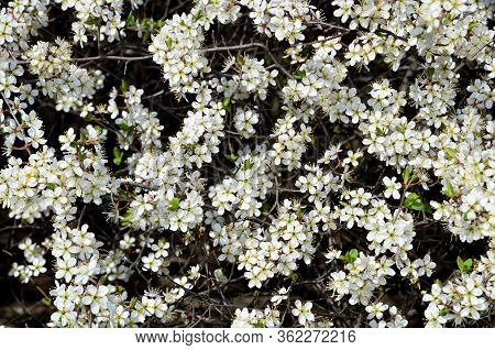 Natural Light Background Consists Of A Blooming Blackthorn.