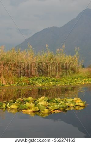 Waterplants With Large Flat Green Leaves Are Floating On A Lake, Among Some Tall Reeds. The Water Is