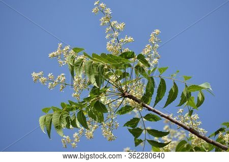 Medicinal Ayurvedic Azadirachta Indica Or Neem Leaves And Flowers. Very Powerful Indian Medicinal Tr