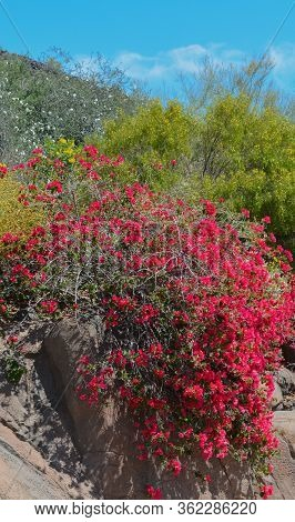 Bougainvillea Has Thorny Ornamental Vines Blooming In Glendale, Maricopa County, Arizona Usa