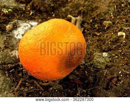 Rotten Mandarin Oranges On The Landfill. Spoilt Citrus Products. Rotten Tropical Fruit.