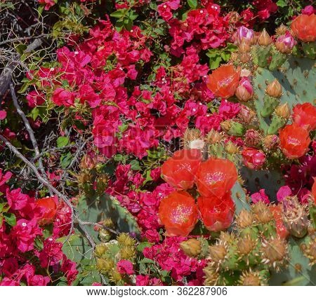 Bougainvillea Has Thorny Ornamental Vines And Prickly Pear Cactus (opuntia Cactaceae) Blooming In Gl