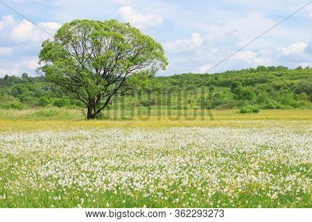 Nature Landscape With Flowering Meadow Of White Wild Growing Narcissus Flowers And A Single Tree In
