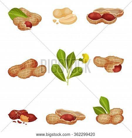 Peanut Kernel In Nutshell With Green Leaves Vector Set