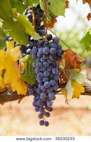 Trepat black grape is a native variety of the Conca de Barbera. Catalonia poster