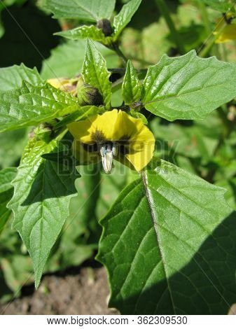 Blooming Physalis Ixocarpa (husk Tomato) In A Garden