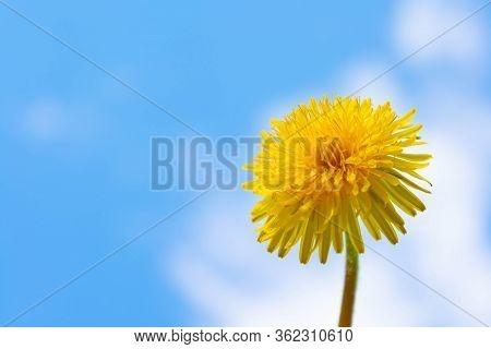 Spring Flowers. Dandelion Flower On A Background Of Blue Sky. Beautiful Background. Medicinal Dandel