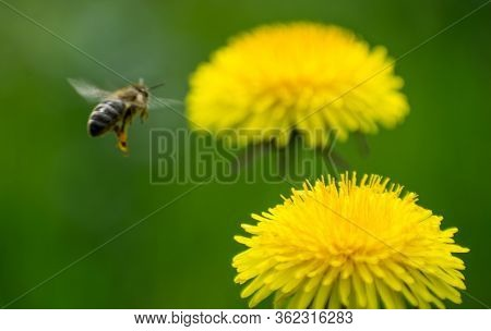 The Bee In Flight, Collects Pollen From Dandelion Flowers