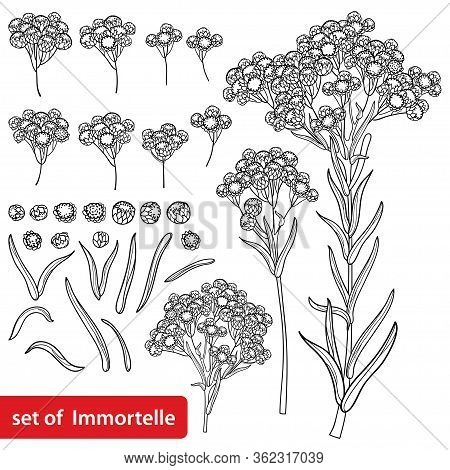 Vector Set Of Outline Helichrysum Arenarium Or Everlasting Or Immortelle Flower Bunch, Bud And Leave