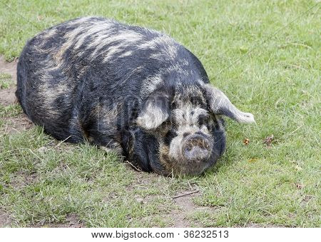 Sleeping rare breed Kunekune pig