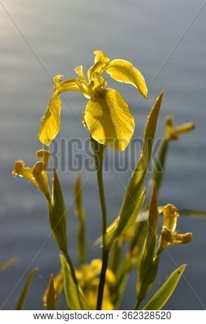 Iris Pseudacorus (yellow Flag, Yellow Iris, Water Flag) Is A Species Of Flowering Plant Of The Famil