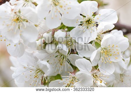 Flowering Branch Of Pear Tree On A Sunny Spring Day. Pear Tree Flowers And Buds. Pear Blossom In Ear
