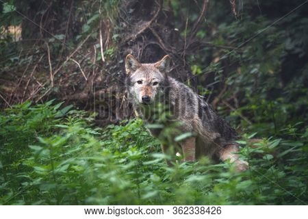 A Mackenzie Valley wolf, Canis lupus occidentalis, hidden in forest undergrowth. This is a subspecies of the Grey Wolf and the largest wolf species in the world.